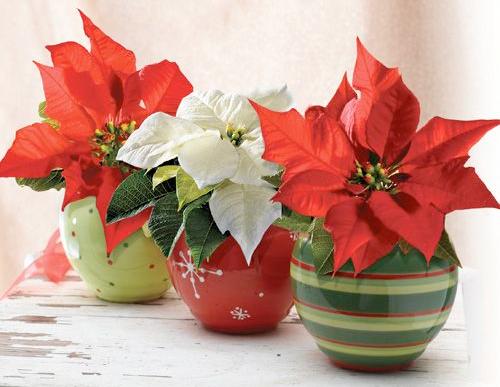 Cuidados de la planta de pascua top aunque no se conoce - Que cuidados necesita la flor de pascua ...